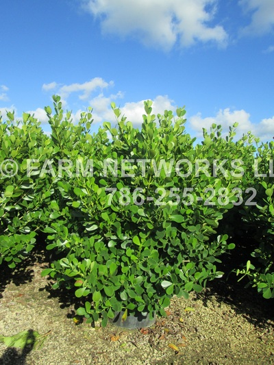 Small Leaf Clusia Nursery Boca Raton Whole 786 255 2832 We Deliver