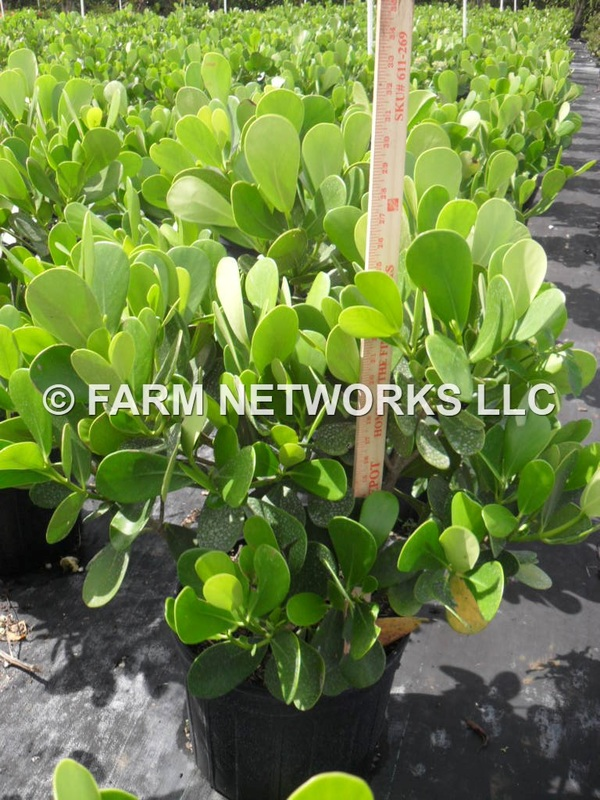 Small Leaf Clusia Nurseries Boca Raton Whole 786 255 2832 We Deliver